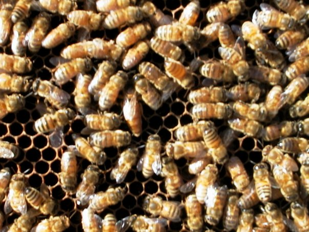 Bees6