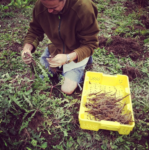 Cedric weeding dandelion roots that we reclaim, dry and blend into our popular Wild Roots beer TeaCraft syrup