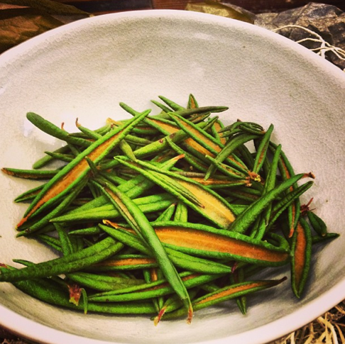 Labrador tea foraged in Whistler
