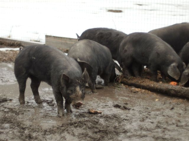 Bandit Farms pigs