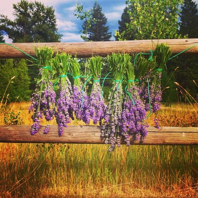 Big thanks to Randy and Cindy from @mileoneeatinghouse for letting me harvest their lovely lavender. Our TRANQUILO bars will now feature Pemberton grown lavender!